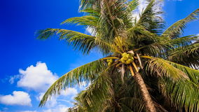 Wind Shakes Branches of Palm with Coconuts against Blue Sky stock video footage