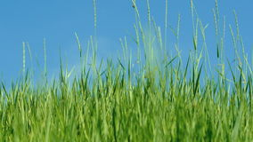 The wind shakes the green grass against blue sky. 4k stock video footage