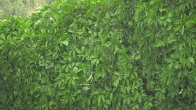 The wind is shaking the leaves of the trees during a heavy rain. The wind shakes the green leaves of the trees during a heavy rain stock video footage