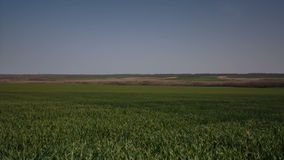 The wind shakes the green stalks of wheat sprouts in the endless fields of the steppe. Russia, HD video. The wind shakes the green stalks of wheat sprouts in stock video