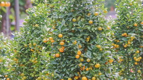 Wind Shakes Green Tangerine Tree Branches With Ripe Fruits stock footage