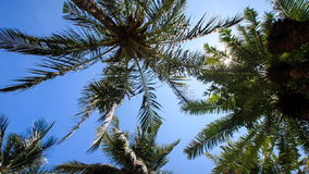 Wind shakes palm branches against blue sky sun disk. Wind shakes palm branches against blue sky with white sun disk behind palms stock video