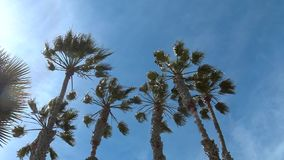 Wind shakes the palm trees against the blue sky.  stock footage