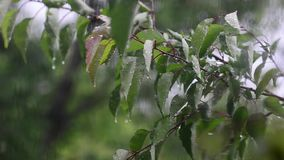 Wind shakes trees, drops of rain fall on leaves of the tree, wind and rain outside window. Wind shakes trees, drops of rain fall on leaves of tree, wind and rain stock footage