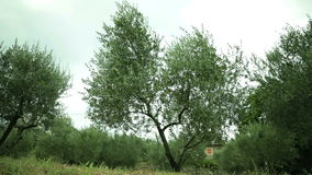 Wind is shaking the trees on a depressing and cloudy day. Olive trees bend and shake from the strong and cold winds stock footage
