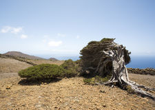 Wind shaped juniper tree, El Hierro Royalty Free Stock Image
