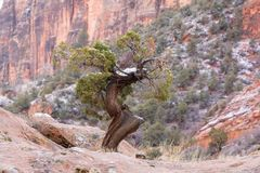 A wind shaped twisted juniper tree in Zion national park still carries a little snow from a winter storm stock images