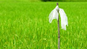 Wind slow blowing plastic bag on dry bamboo pole to chasing birds in the rice field. Scarecrow. Rice paddy in rice fields and rice. Plantation in Thailand stock video footage
