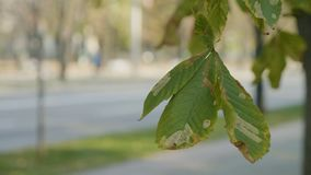 Wind slowly flattering a polluted chestnut tree leaf on autumn sunny day near a public road -. Wind slowly flattering a polluted chestnut tree leaf on autumn stock footage