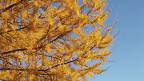 Wind stirs the bright yellow larch branches stock footage