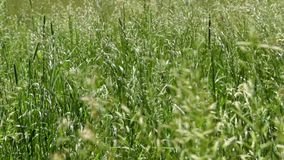 The wind stirs the grass. Nature in the summer. stock footage