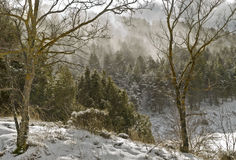 Wind storm in the forest. Snowy pine forest during a wind storm, with clouds above the trees Royalty Free Stock Photography