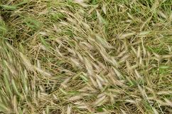 Wind-stricken yellow green grass on the meadow as a natural background. Spikelets are lying on the ground, trampled grass stock images