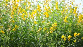 Wind and Sunnhemp flowers or Scientific Name, Crotalaria juncea L. Share. stock footage