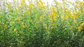 Wind and Sunnhemp flowers or Scientific Name, Crotalaria juncea L. Share. stock video