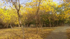 Wind Suzuki. Blooming Suzuki in a park in Tainan, Taiwan, with beautiful yellow flowers royalty free stock image