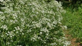 Wind swaying blooming hemlock plants. Poisonous plant stock footage