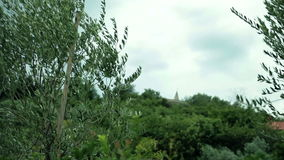 The wind is swaying the olive tree. Olive trees bend and shake from the strong and cold winds stock video footage