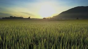 Wind Sways Rice Field against Distant Hill at Dawn. Drone view light wind sways rice stalks on field against hill silhouette at dawn under bright endless sky stock footage