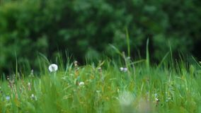 The wind sways trees branches. Grass and field flower stock video footage