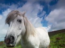 Wind-swepped weißes Dartmoor Pony Lizenzfreie Stockfotografie