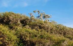 Wind swept bushes on Crescent Bay, North Laguna Beach, California. Image shows wind swept bushes on bluffs of Crescent Bay in North Laguna Beach, California Royalty Free Stock Photo
