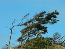 Wind Swept Coastal Trees Stock Photos