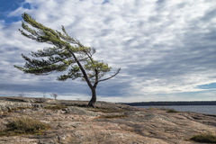 Wind Swept Pine Royalty Free Stock Photos