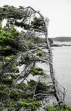 Wind swept pine tree on west coast near Victoria, BC Royalty Free Stock Photography