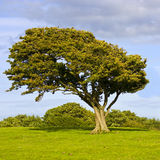 wind swept tree Royalty Free Stock Images