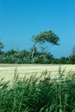 Wind swept tree. A lone wind-swept tree in a summer landscape Stock Photos