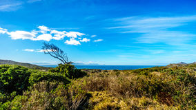 Wind swept tree on Cape of Good Hope Nature Reserve. Near the southern tip of the Cape Peninsula in South Africa Royalty Free Stock Photography