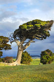 Wind swept tree Royalty Free Stock Photography