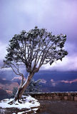 Wind-Swept Tree on West Rim Grand Canyon. Snow covered tree on edge of West Rim of Grand Canyon leaning dramatically toward the canyon gorge. Stormy sky and Royalty Free Stock Image