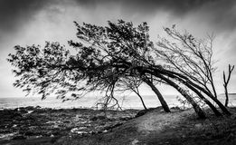 Wind Swept Trees. After a cyclone on the coast Stock Images