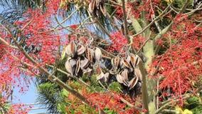 Wind swings bottle tree seeds. Wind swings seed pods of bottle tree among red foliage stock footage