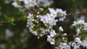 Wind swings the branches of blossoming tree, changing focus stock footage