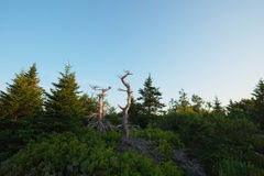 Wind torn and twisted dead tree trunks at the very top of Cadill Stock Photo