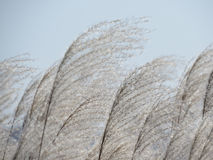 The wind tosses the cane against the sky Royalty Free Stock Images
