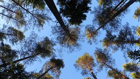 Wind in the trees from low angle stock footage