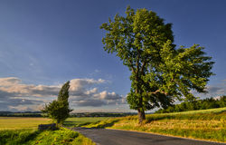 In the wind. Trees for rural road on a hot summer wind Stock Photos