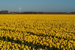 Wind turbine behind a field with yellow tulips in a Dutch polder royalty free stock image