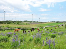 Wind turbine, cow  and lupine  flowers Stock Images