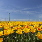 Wind turbines against blue sky with orange tulips in the foregro Stock Photo