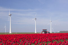 Wind turbines against blue sky and red tulip field in holland pl stock photo