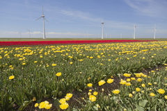 Wind turbines against blue sky and yellow red tulip field in hol Stock Photography