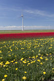 Wind turbines against blue sky and yellow red tulip field in hol Royalty Free Stock Images