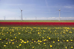 Wind turbines against blue sky and yellow red tulip field in hol Royalty Free Stock Photo