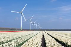 Wind turbines behind a field of white tulips Stock Photos