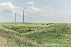 Wind turbines. With grazing cattle in pasture Stock Images